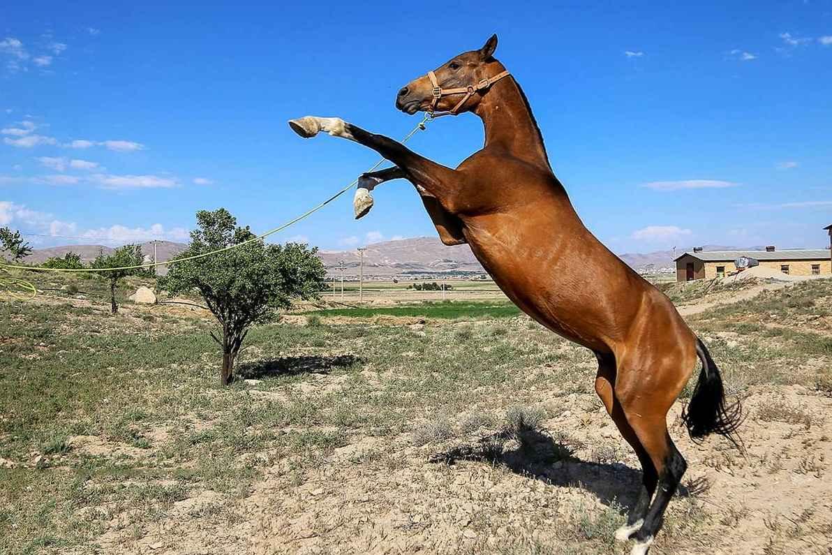 جشنواره زیبایی اسب ترکمن در بجنورد