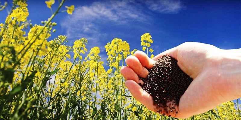 کشاورزان ایلامی با کمبود بذر کلزا مواجه شده اند
