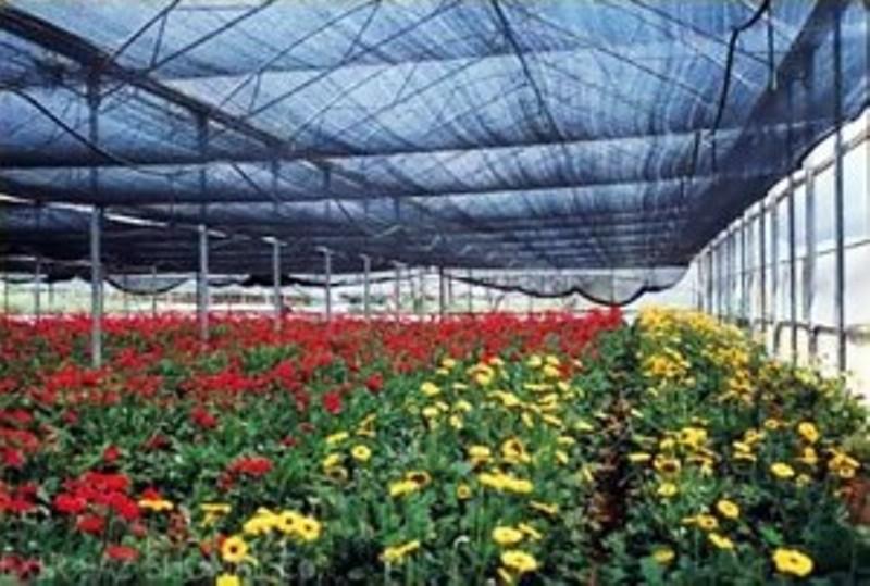 ۱.۵ میلیون گل شاخه بریده در چهارمحال و بختیاری تولید شد