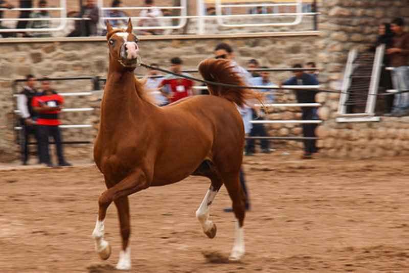 جشنواره زیبایی اسب اصیل عرب در بهار آغاز شد