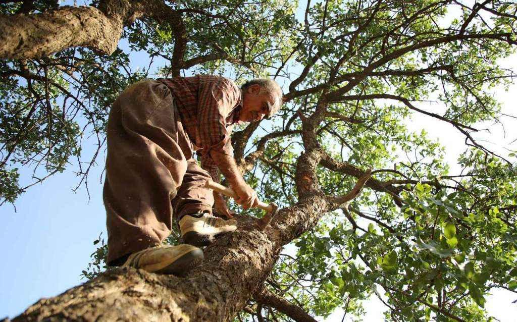 سقزگیری از درختان بنه ایلام شروع شد