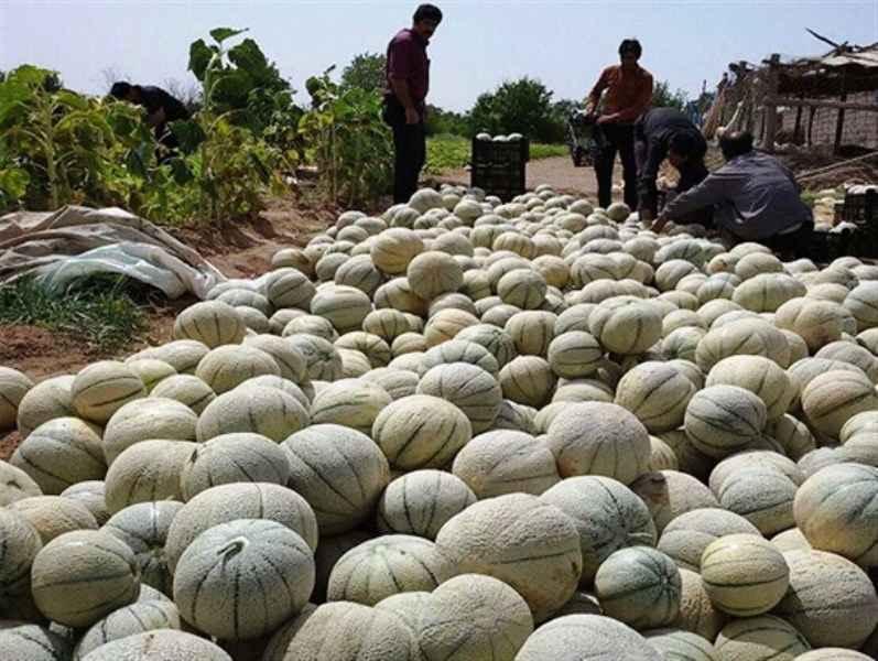 طالبی کاران دره شهر چهار هزار و ۵۰۰ تن محصول برداشت می کنند