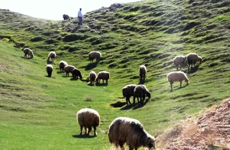 ۷۱ درصد جمعیت دامی ایلام متعلق به عشایر است